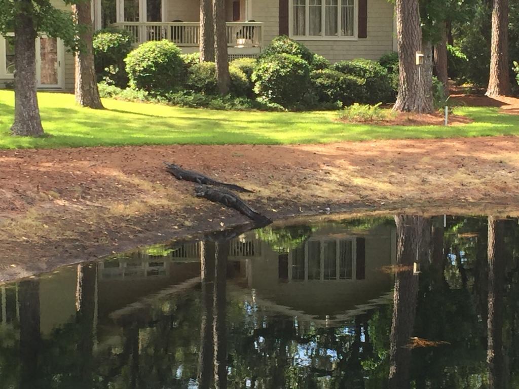 Alligators on the 15th